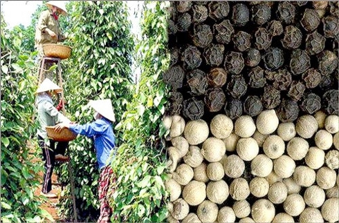 pepper exports expect to regain growth