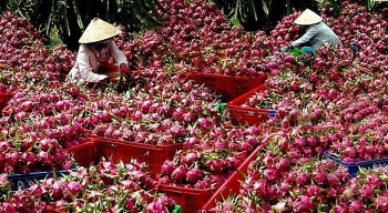 over 1500 tonnes of dragon fruits shipped to china via lao cai border gate