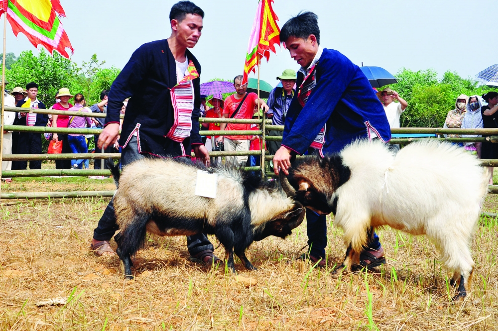 goat fighting festival in ha giang province