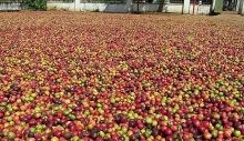 coffee exports soar in first two months