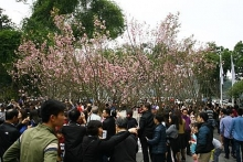 japanese cherry flowers to be showcased in hanoi