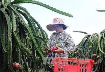 binh thuan exports 163 tonnes of dragon fruit to uae