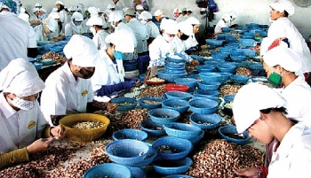 export markets nuts about vietnams cashews