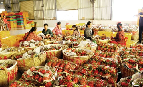 vietnams dragon fruit open door to myanmar