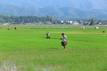 winter spring rice yields big profits for farmers