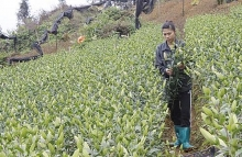 lao cai to develop 35ha hi tech farms of lilies roses