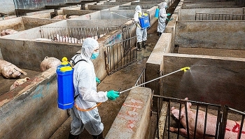 african swine fever a sustained threat to vietnams pork industry