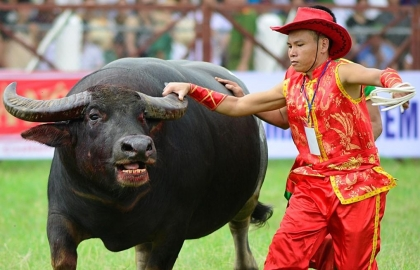 buffalo fighting an ancient tradition preserved