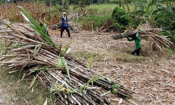 sugarcane farmers in mekong delta suffer losses due to low prices