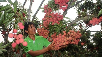 hai duongs first lychees of season to enter market