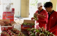 vietnams red flesh dragon fruits favoured at australian market