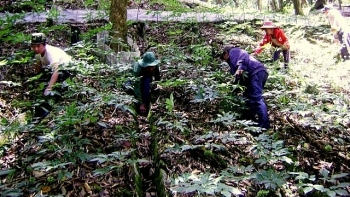 us 221 million ngoc linh ginseng project launched