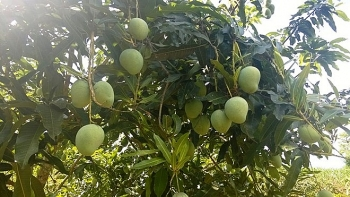 vietnams northern province to export mangoes to australia