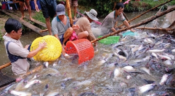 prospects and perils of pangasius exports to china