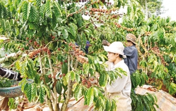 coffee needs climate change adaptation