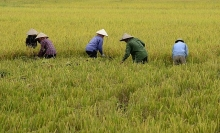 rice prices rise in india as demand recovers thai prices dip ahead of harvest