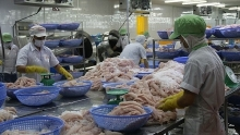 vietnams pangasius exports to china see strong growth