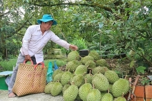 mekong delta fruit farmers enjoy bumper harvest high prices
