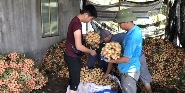 a bumper crop for thanh ha litchi