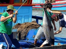 vietnams tuna exports witness impressive growth