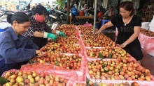 lychee farming hubs to enter main crop