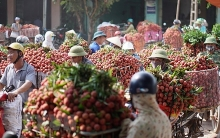 hai duong exports about 9500 tonnes of litchi