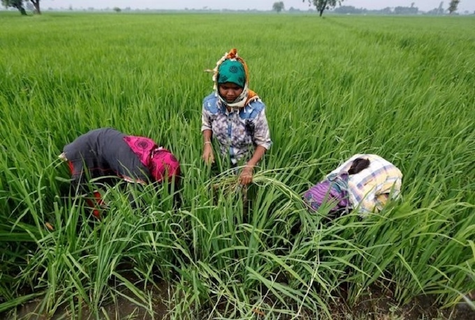vietnam prices ease from multi year highs india rice rates nudge up