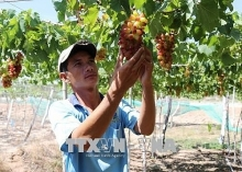 ninh thuan to grow more new high quality grape