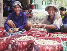 mekong south east regions advised to develop mushroom farms