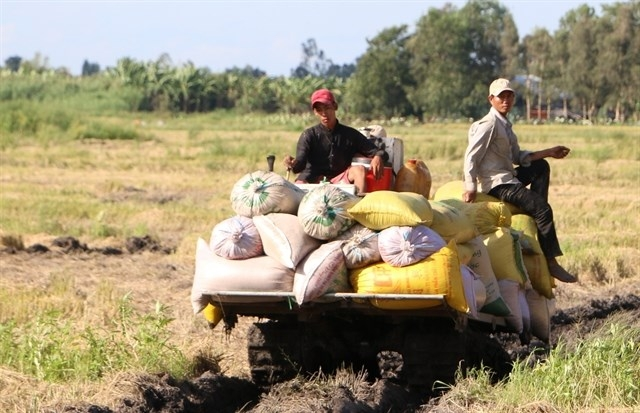 summer autumn rice yield increases in southern region
