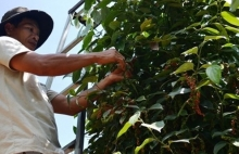 pepper export volume down 57 percent in first half