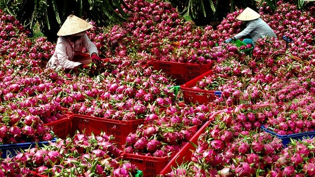 Vietnamese Dragon: Vietnamese Dragon Fruit Allowed To Enter Australia