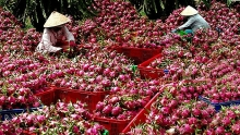 vietnamese dragon fruit allowed to enter australia