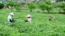 vietnams tea exports fall in both volume and revenue