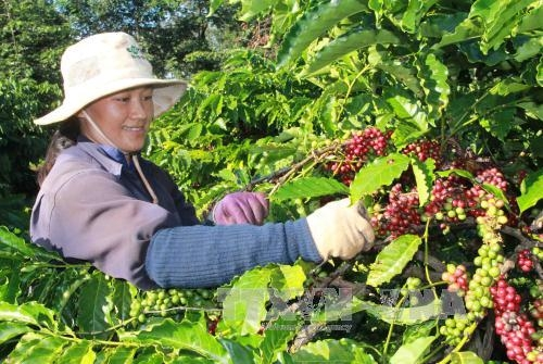 gia lai province replaces old coffee trees with new ones