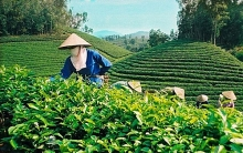 vietnams tea exports likely to increase in coming months