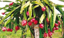 seeking sustainable outlets for dragon fruit