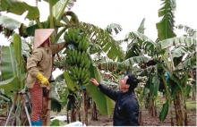 increasing banana export opportunities