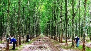 vietnams company to plant 500 ha of rubber in laos