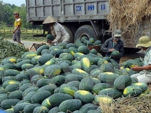 vietnamese chinese firms ink watermelon trade deals