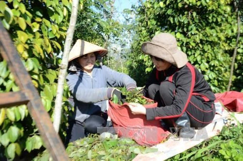 dutch firm helps binh phuoc promote sustainable peppercorn production