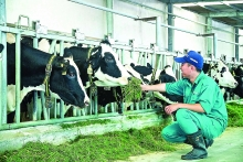 milking vietnams dairy industry for all its worth
