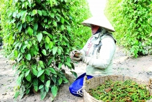 vietnam eyes eu trade deal for hotter pepper exports