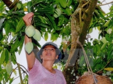 vietnam cooperative to export mangoes to australia
