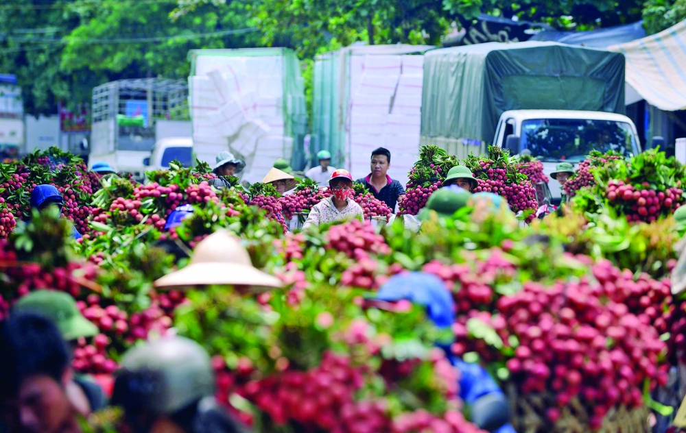 bumper crop forecast for hai duong litchis