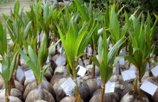 developing more resilient higher yield coconuts