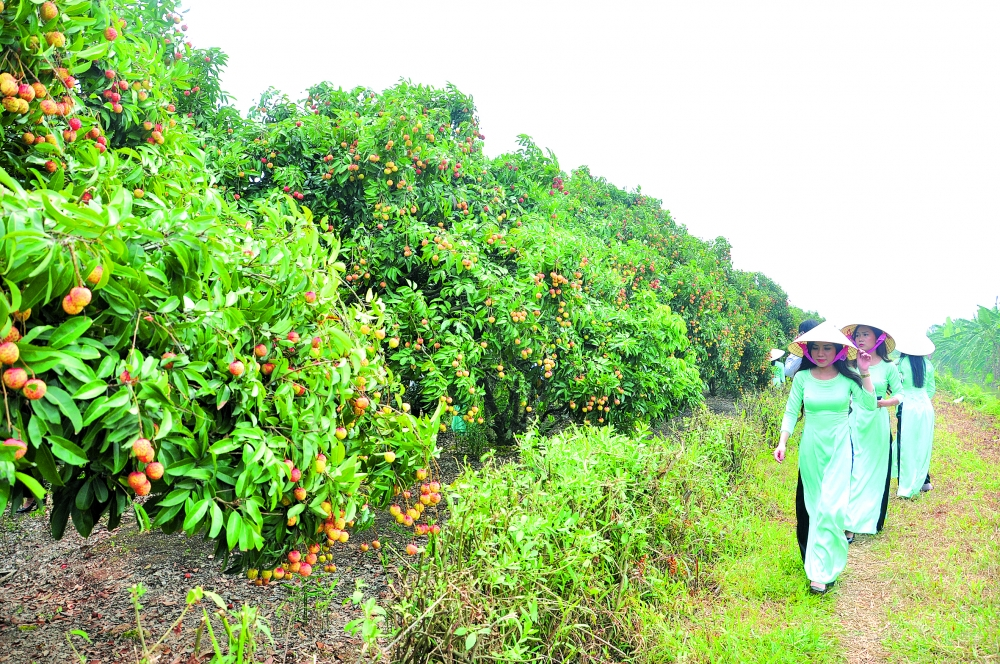 hai duongs litchi orchards attract visitors