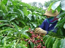 long term price crisis brewing for vietnam coffee industry