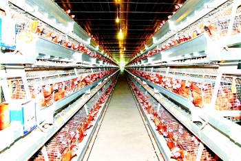 domestic firms seek to take bite out of imported meat