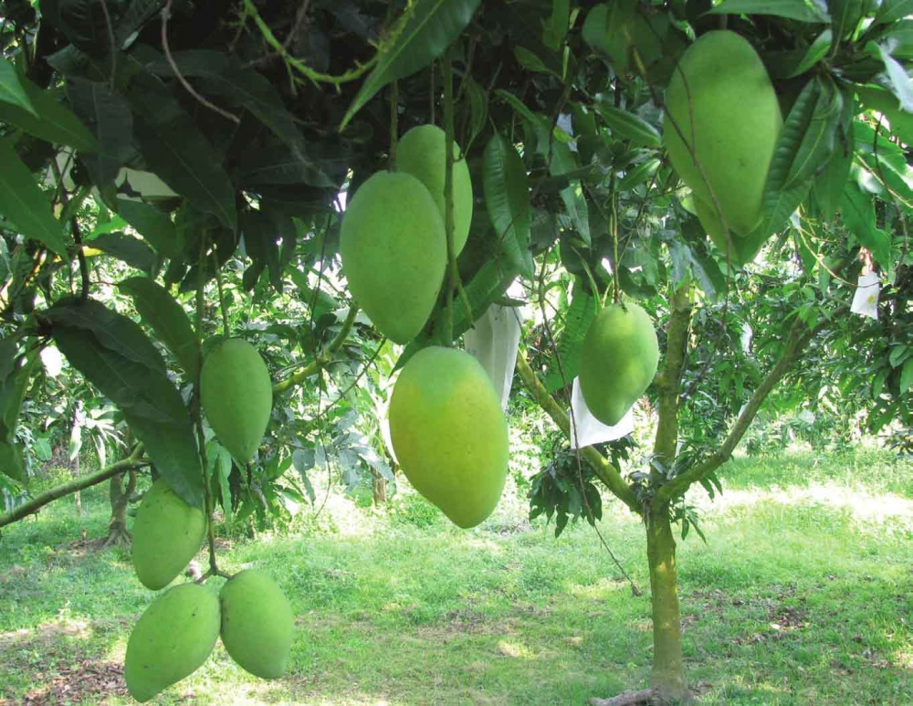 vietnamese green mango popular in australia